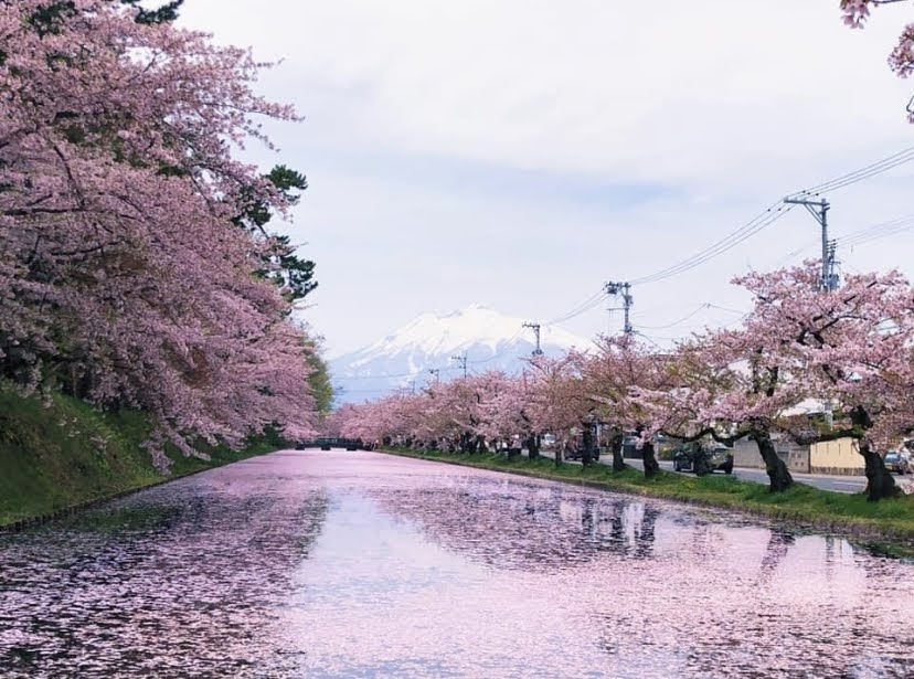 Cherry Blossoms in Hirosaki2020